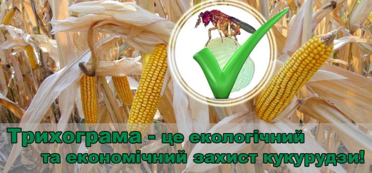 Трихограма – як ефективний метод захисту кукурудзи.