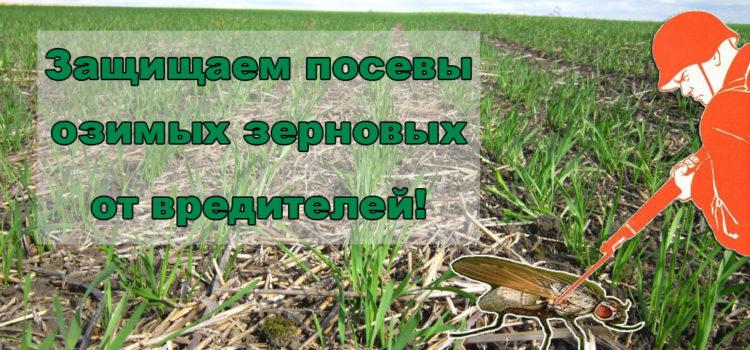 Осенняя защита и контроль вредителей пшеницы в технологии Ноу-тилл
