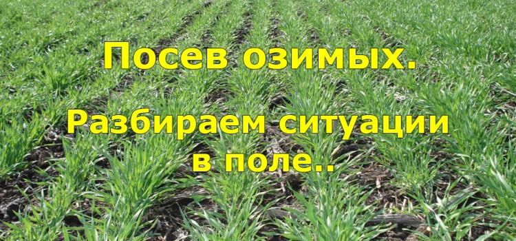 Как и когда сеять озимые для получения хорошего урожая?