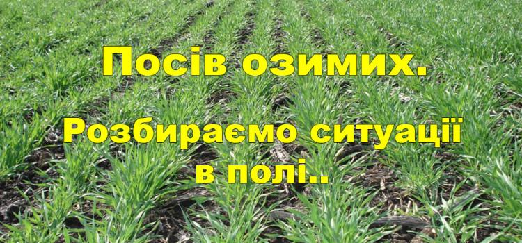 Як і коли сіяти озимину для здобуття хорошого урожаю?