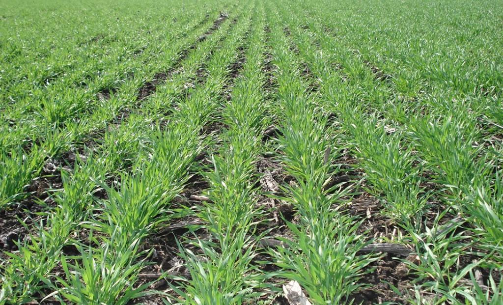 Как посеять пшеницу на участке