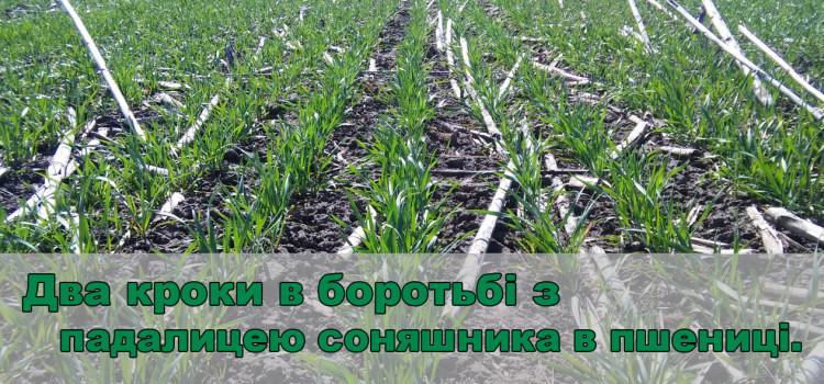 Озима пшениця після соняшнику: як боротися з падалицею?  Досвід Агромиру.
