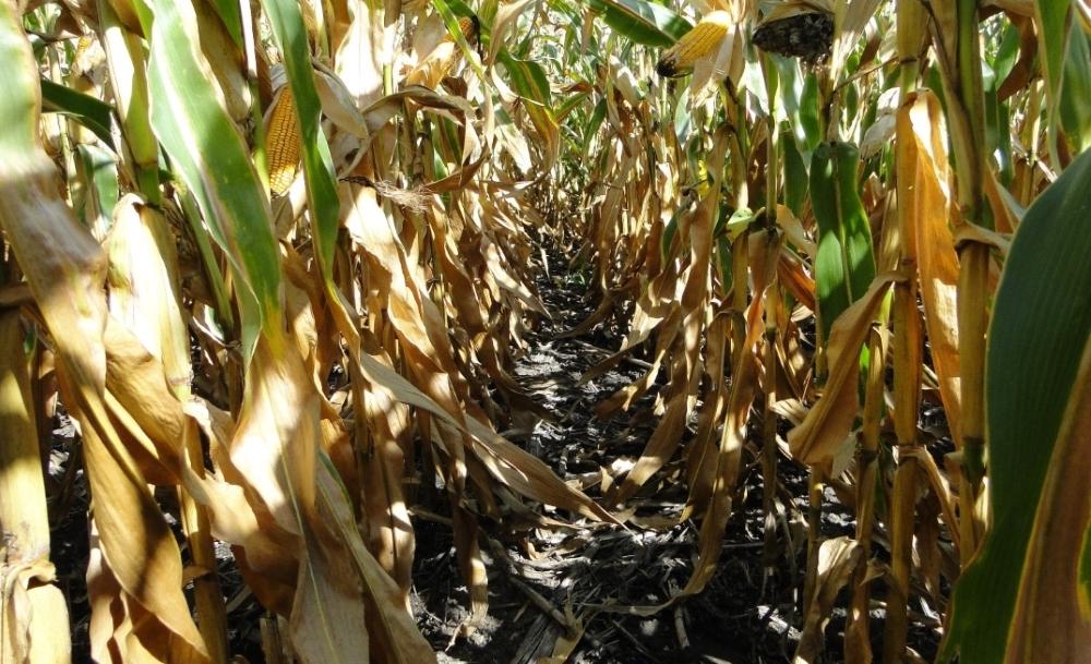 Чисті посіви кукурудзи Компанії Агромир