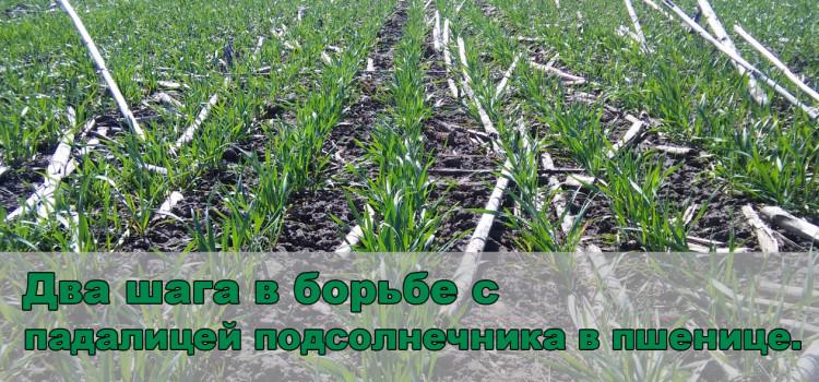 Озимая пшеница после подсолнечника: как бороться с падалицей? Опыт Агромира.