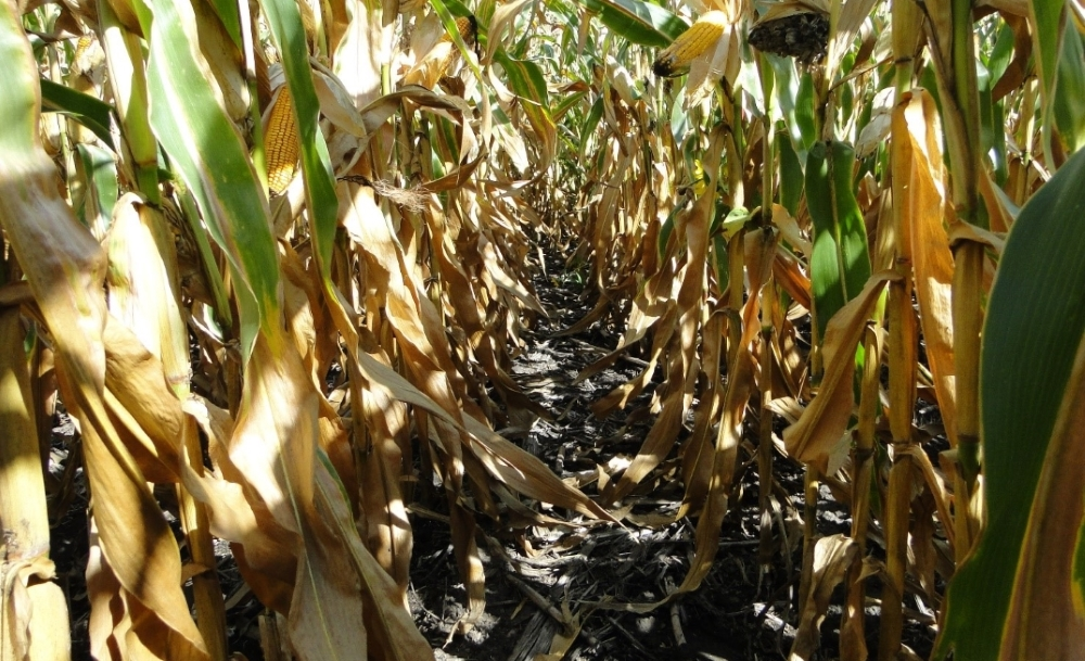 Чистые посевы кукурузы Компании Агромир