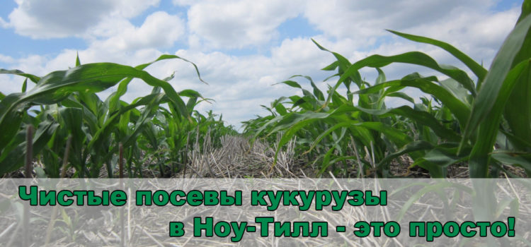 Кукуруза по Ноу-Тилл: как обеспечить чистоту посевов от сорняков?