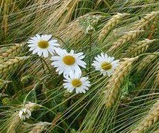 Если в Ваших зерновых растет такая красота - десикация Вам просто необходима!
