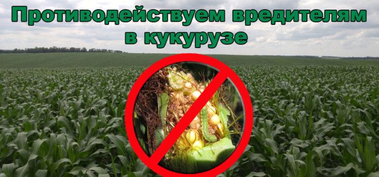 Вредители на кукурузе — методы выявления и борьбы с ними.