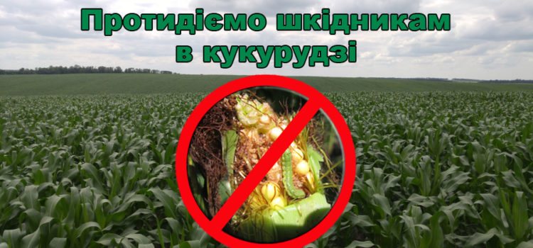 Шкідники на кукурудзі – методи виявлення та боротьби з ними.