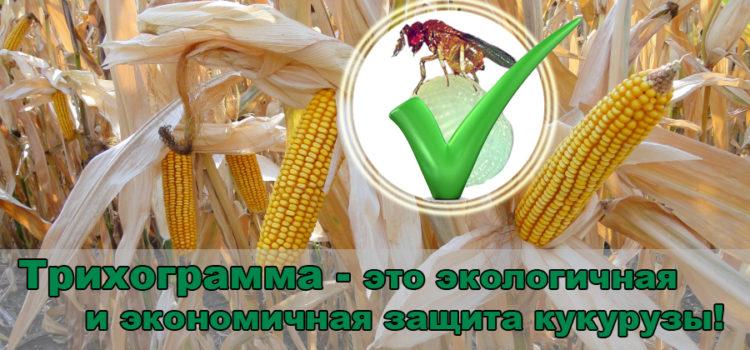 Трихограмма — как эффективный метод защиты кукурузы.