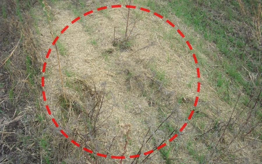Валок растительных остатков, в котором неравномерные всходы.