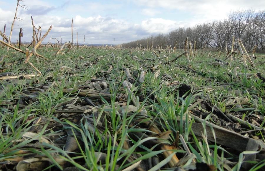 Пшеница после кукурузы по технологии ноу-тилл.