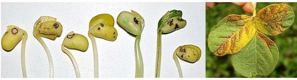 Наслідки бактеріозу в посівному матеріалі сої