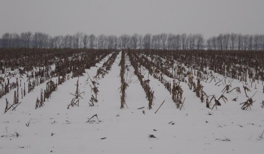 Кукуруза – эффективный инструмент снегозадержания