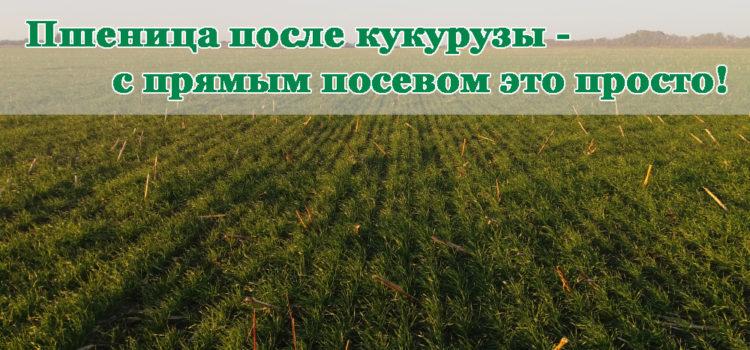 Кукуруза, как предшественник для озимой пшеницы