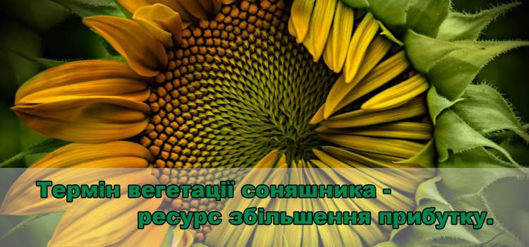 Маленькі нюанси великого врожаю соняшника. Збільшуємо термін вегетації.