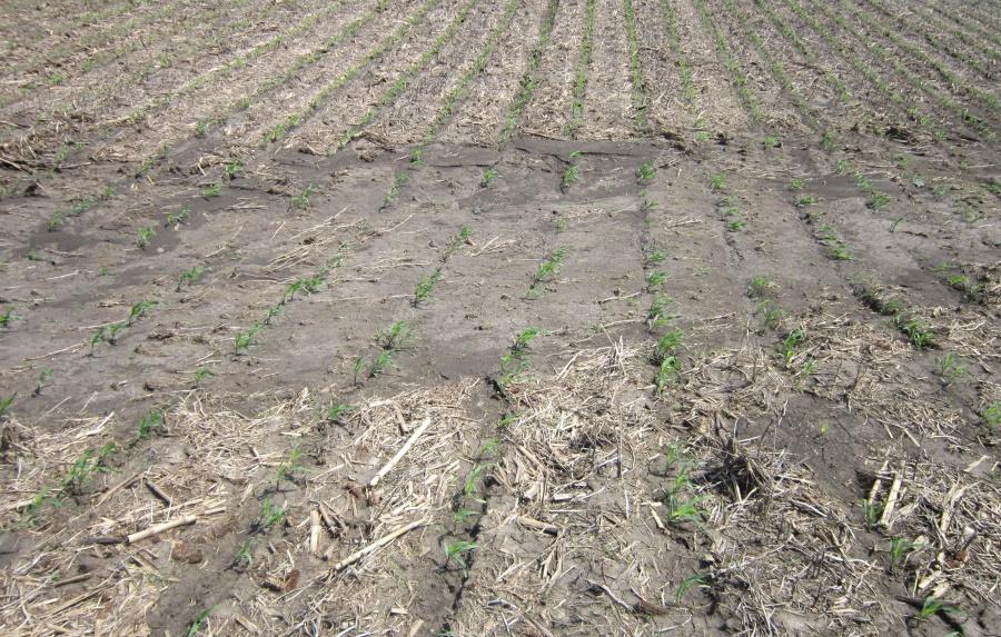 Даже сильный ливень в таком проблемном месте не нанес существенного вреда посеву